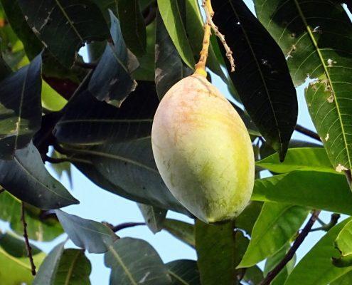 hangende_mango